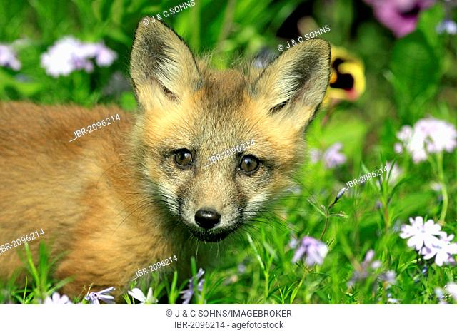Red Fox (Vulpes vulpes), pup, ten weeks, Montana, USA, North America