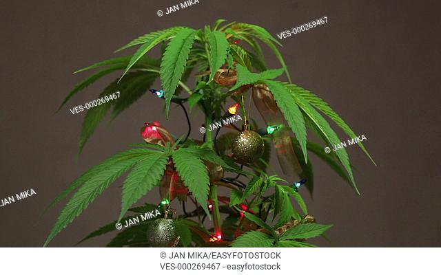 Cannabis Christmas tree, decorated Cannabis plant with lights