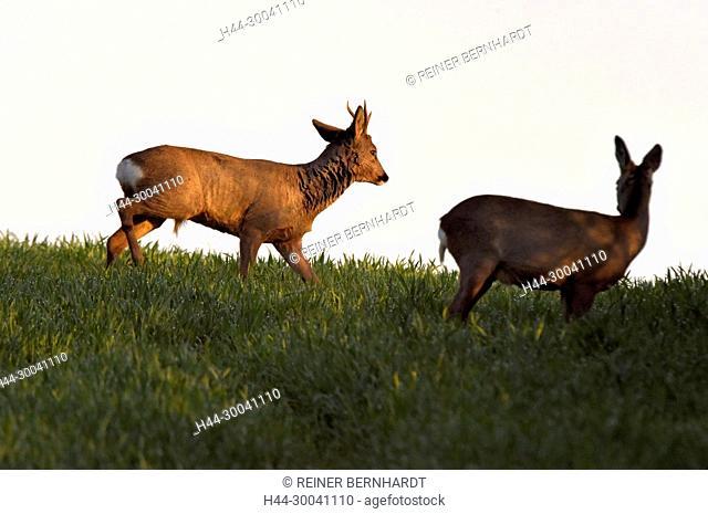 Capreolus capreolus, field roe deer, spring, nature, cloven-hoofed animal, roe deer, roebuck, roebucks, roe deer, roe deer on the field