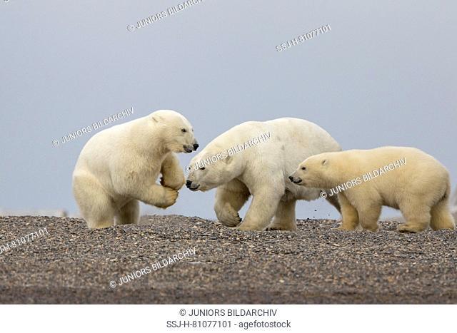 Polar Bear (Ursus maritimus, Thalarctos maritimus). Meeting of two cubs on a barrier island. Kaktovik, Alaska. Every fall polar bears gather near Kaktovik on...