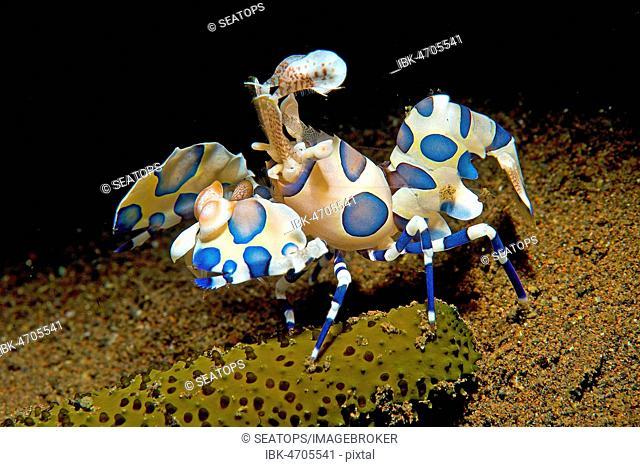 Harlequin shrimp (Hymenocera elegans), blue morph, Bali, Indonesia