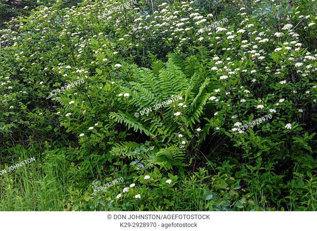 Flowering northern wild raisin (Viburnum cassinoides) and Interrupted fern (Osmunda claytoniana), Greater Sudbury, Ontario, Canada