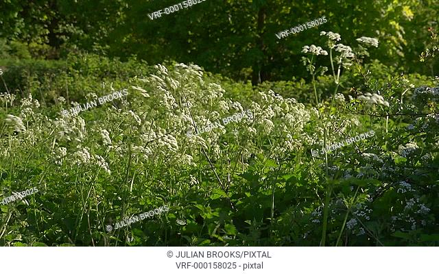 Backlit cow parsley Anthriscus sylvestris blown by the breeze