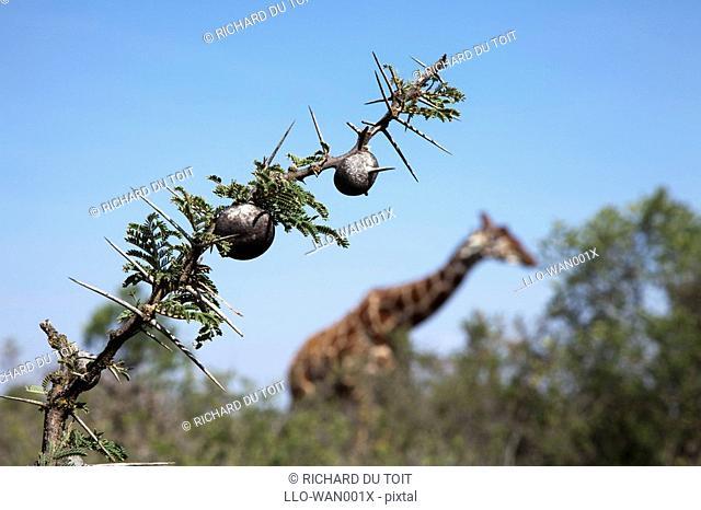 Whistling Thorn Acacia drepanolobium with Giraffe in background, Ol Pejeta Conservancy, Rift Valley Province, Kenya