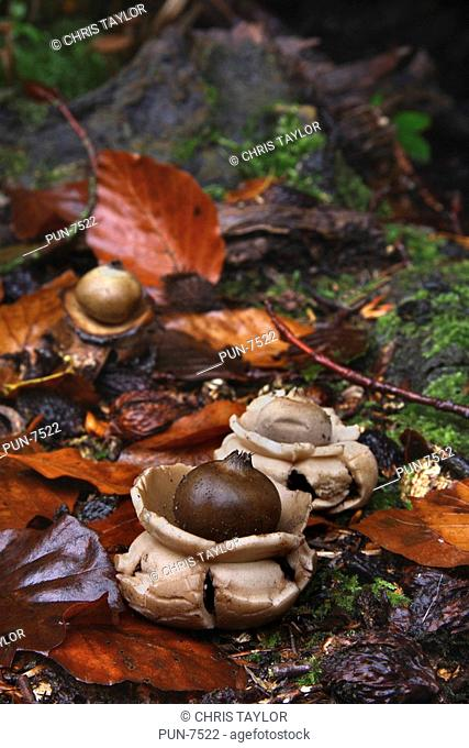 Three Geastrum sessile earth star fungi in leaf litter at the base of a tree