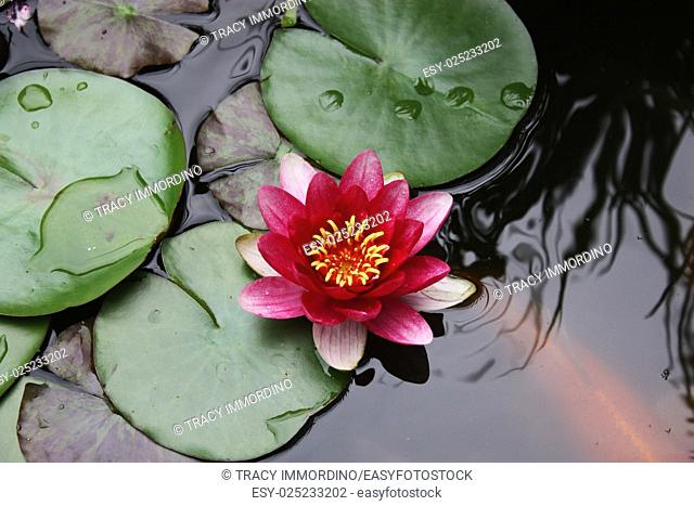 A pink Water lily surrounded by lily pads sprinkled with rain in a koi pond