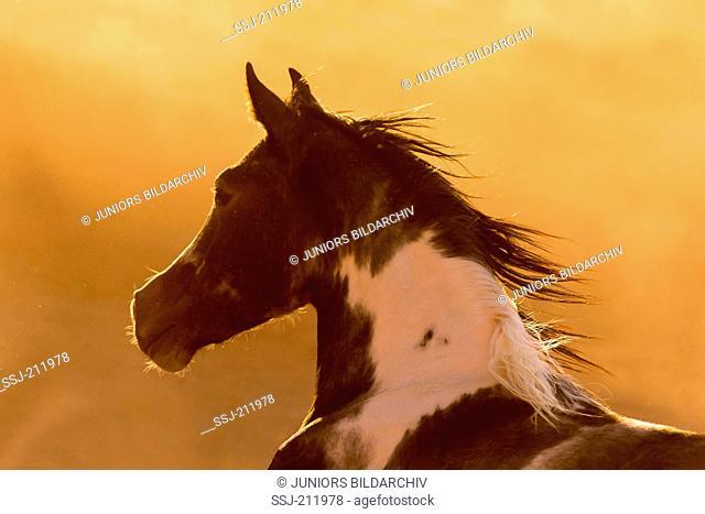Pintarab. Portraet of skewbald mare, seen against a dusty evening sky. Egypt