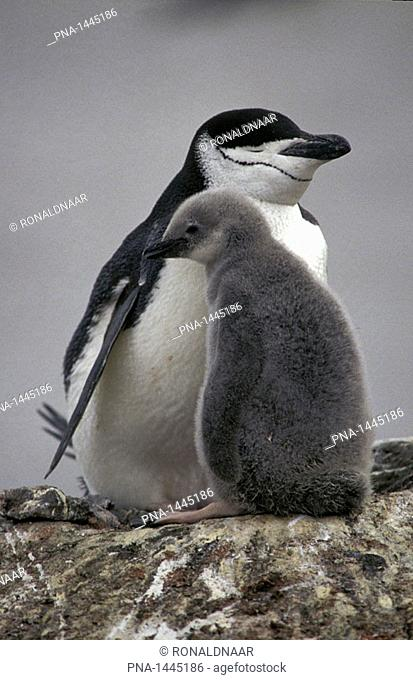 Chinstrap Penguin with chick on Deception Island, Antarctica