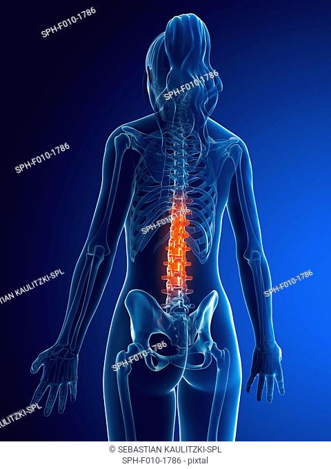 Female lumbar spine, computer artwork