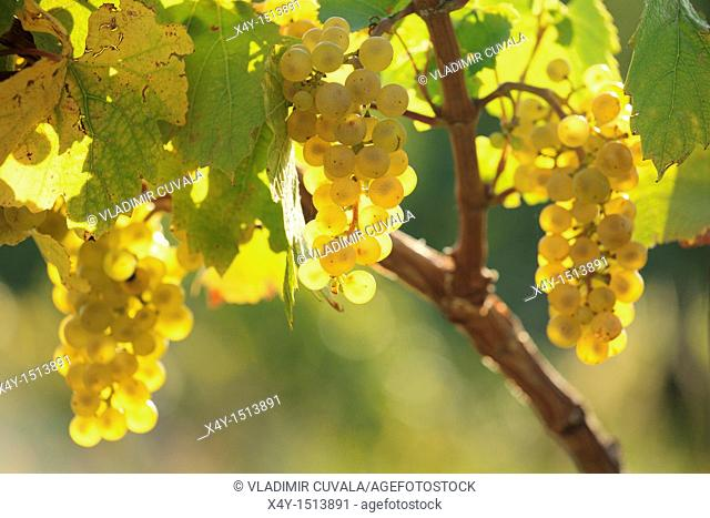 The bunch of grapes in the evening sun on the foothills of Male Karpaty, Slovakia