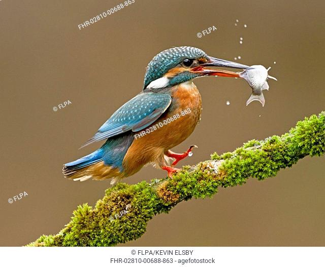 Common Kingfisher Alcedo atthis adult, feeding, landing on moss covered branch with fish in beak, Droitwich, Worcestershire, England, May
