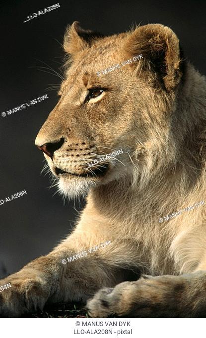 Portrait of Immature Male Lion Panthera leo  Kruger National Park, Mpumalanga Province, South Africa