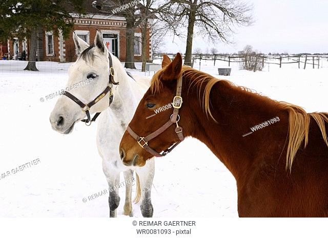 Two friendly mares standing together in front of a farmhouse