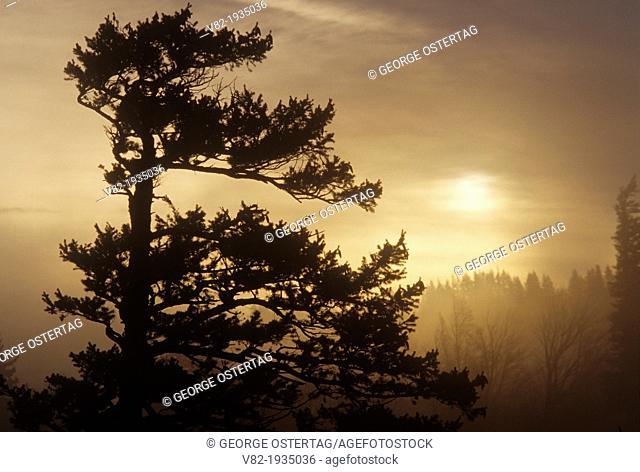 Fir sunrise, Columbia River Gorge National Scenic Area, Oregon
