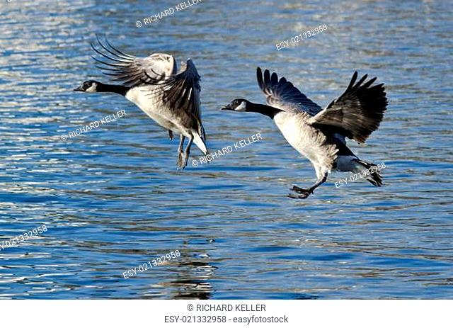 Two Canada Geese Coming in for Landing on the Lake