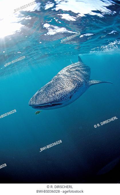 whale shark (Rhincodon typus), largest fish, Djibouti, Golf von Aden