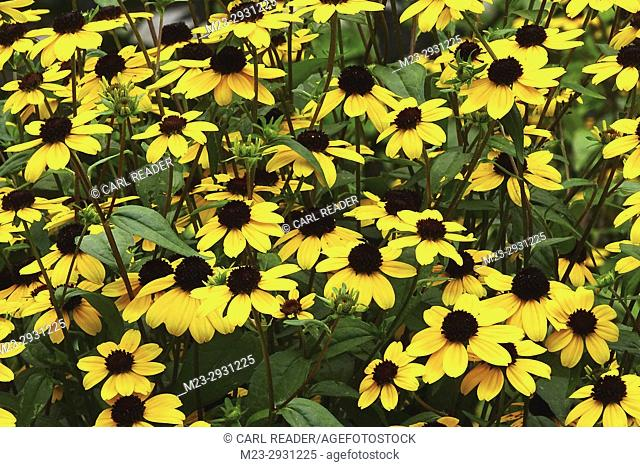 A cluster of black-eyed susans, Pennsylvania, USA