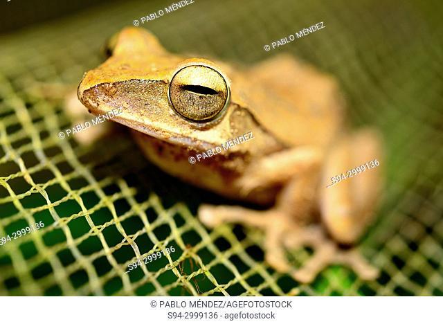 Bush frog (Polypedates leucomystax) in Kep fields, Cambodia