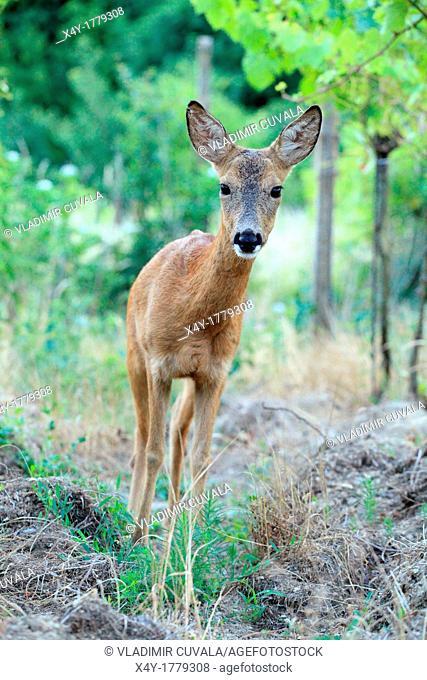 European Roe Deer Capreolus capreolus doe standing in the vineyards  Location: Male Karpaty, Slovakia