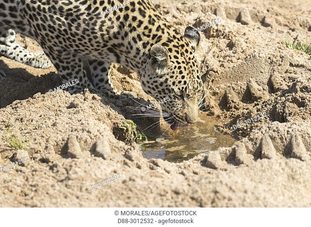 Africa, Southern Africa, South African Republic, Mala Mala game reserve, savannah, African Leopard (Panthera pardus pardus), drinking