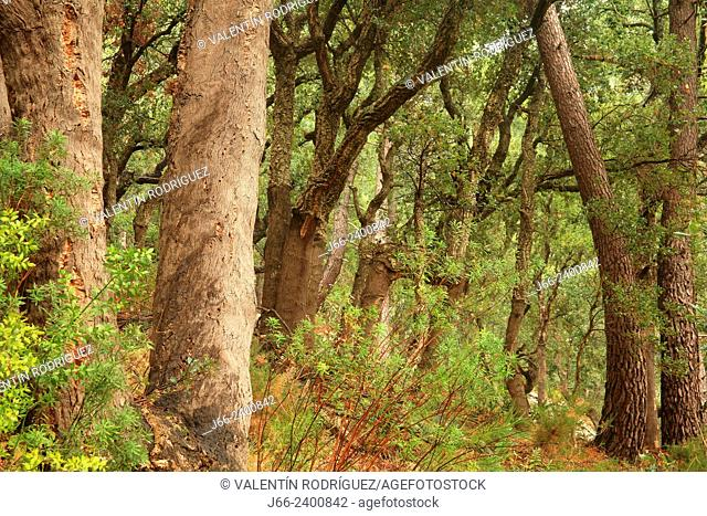 forest of oaks (Quercus suber) and maritime pine (Pinus pinaster) in the natural park Sierra Espadán. Castellón. Spain