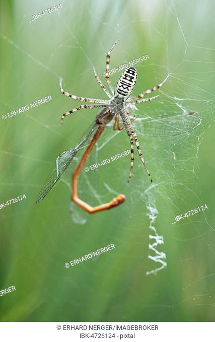 Wasp spider (Argiope bruennichi) with small red damselfly (Ceriagrion tenellum) as prey in spider web, Emsland, Lower Saxony, Germany
