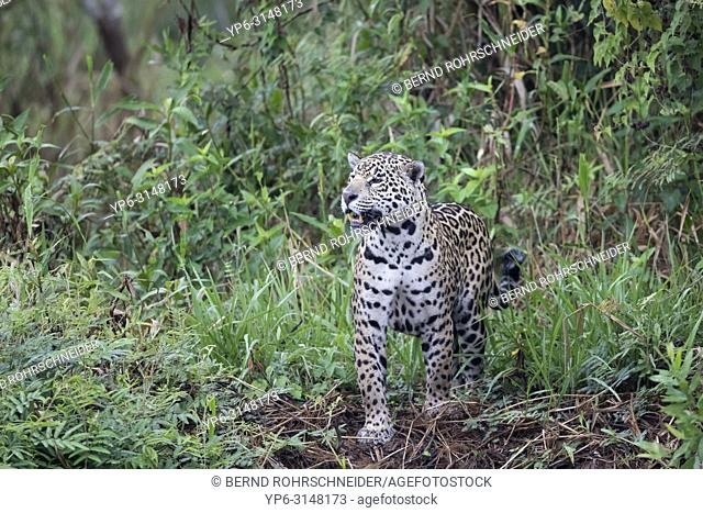 Jaguar (Panthera onca), adult standing in vegetation on riverbank, Pantanal, Mato Grosso, Brazil