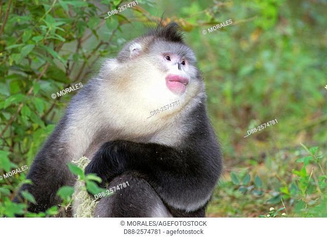 Asia, China, Yunnan province, Yunnan Snub-nosed Monkey Rhinopithecus bieti, adult male eating lichen