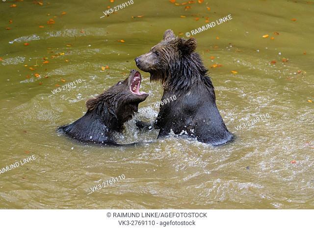 Brown Bear, Ursus arctos, Cubs fighting in pond, Bavaria, Germany