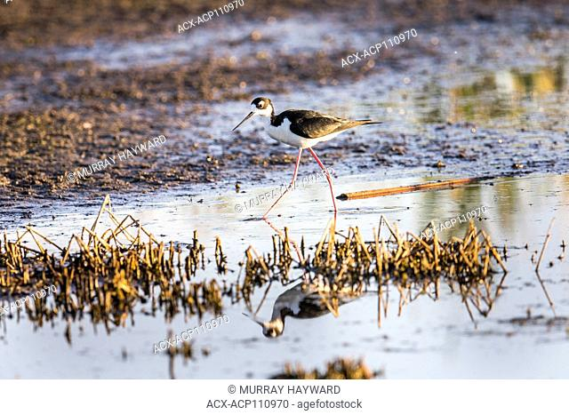 Black-necked Stilt (Himantopus mexicanus) Colorful, with reflection in water, searching for food. Weed Lake, Alberta, Canada