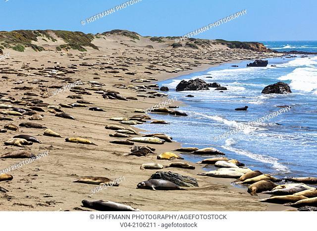 Sunbathing Northern Elephant Seals (Mirounga angustirostris) at the Pacific Coastline, California, USA
