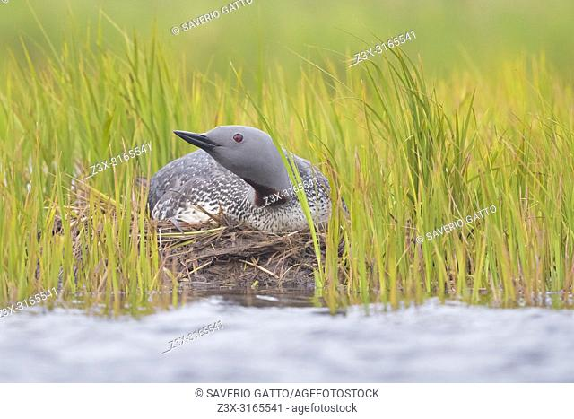 Red-throated Loon (Gavia stellata), adult sitting on nest