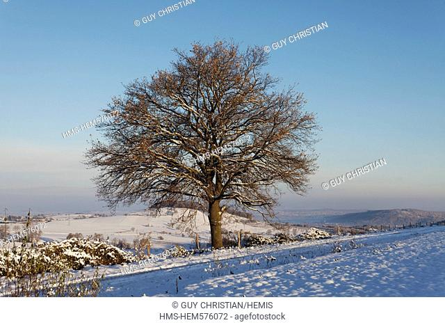 France, Puy de Dome, oak in winter