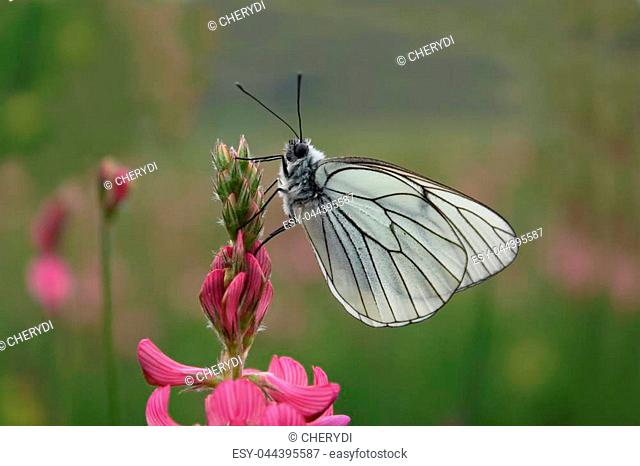 A picture of beautiful white butterflies in nature