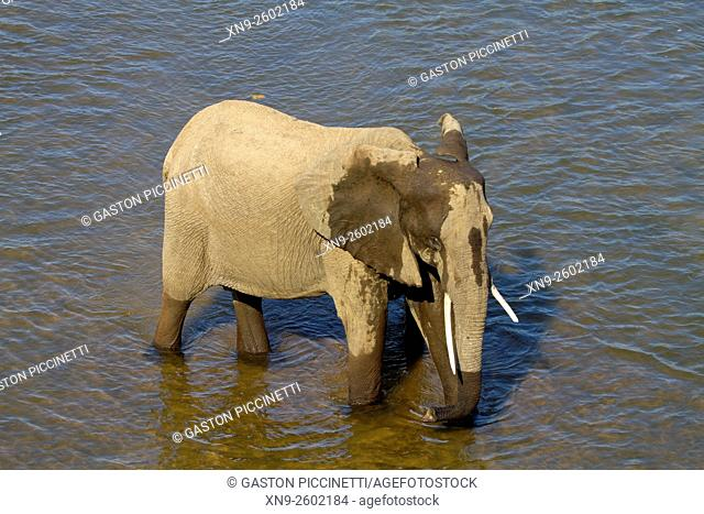 African Elephants (Loxodonta africana), in the river, Kruger National Park, South Africa