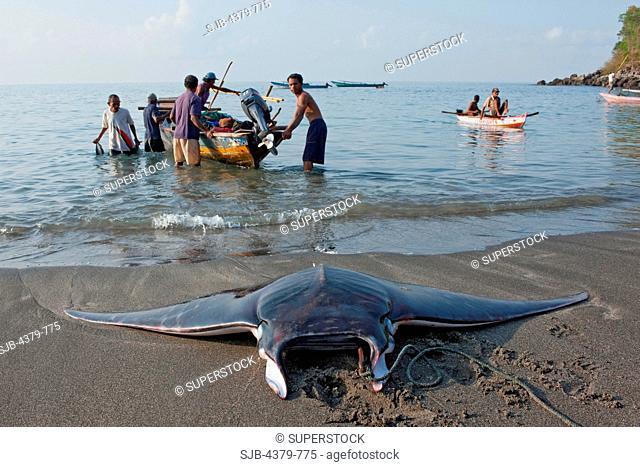 A dead devilray Mobula japanica, dragged onto the beach in Lamalera, Lembata Island, Eastern Indonesia