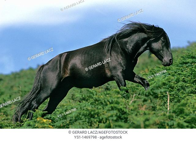 Pottok Horse, Adult walking on fern, French Pyrenees