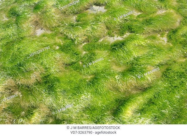 Enteromorpha intestinalis or Ulva intestinalis is a green alga. This photo was taken in Cabo de Gata, Almeria province, Andalucia, Spain