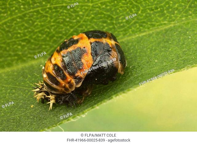 Harlequin Ladybird (Harmonia axyridis) introduced species, pupa, attached to leaf, Leicestershire, England, September