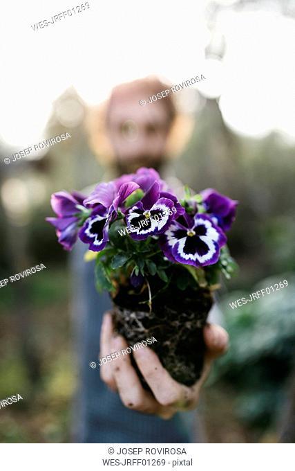 Pansies in gardener's hand