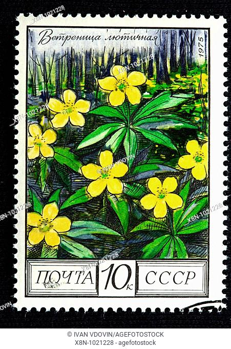 yellow anemone, yellow wood anemone or buttercup anemone Anemone ranunculoides, postage stamp, USSR, 1975