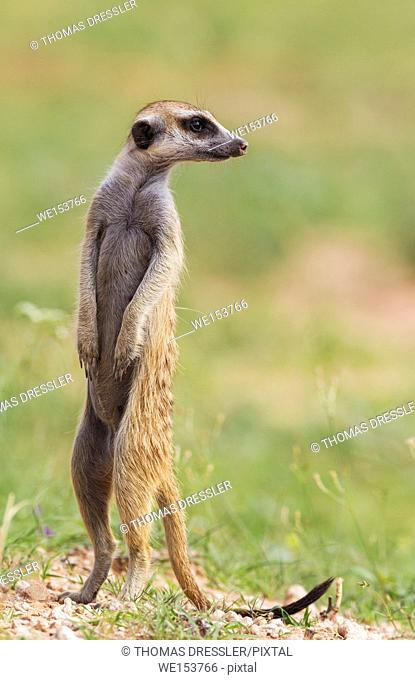 Suricate (Suricata suricatta). Also called Meerkat. Guard on the lookout. During the rainy season in green surroundings. Kalahari Desert