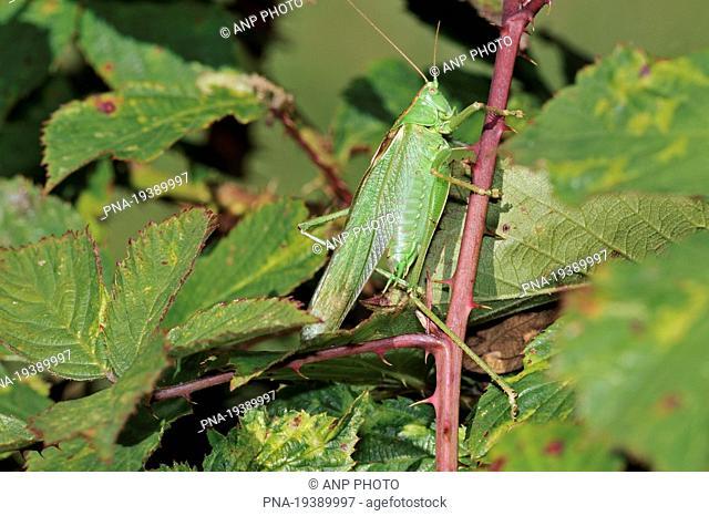 Great Green Bush-cricket Tettigonia viridissima - Bourgoyen Ossemeersen , Ghent, Scheldeland, Leiestreek, Flanders, Belgium, Europe