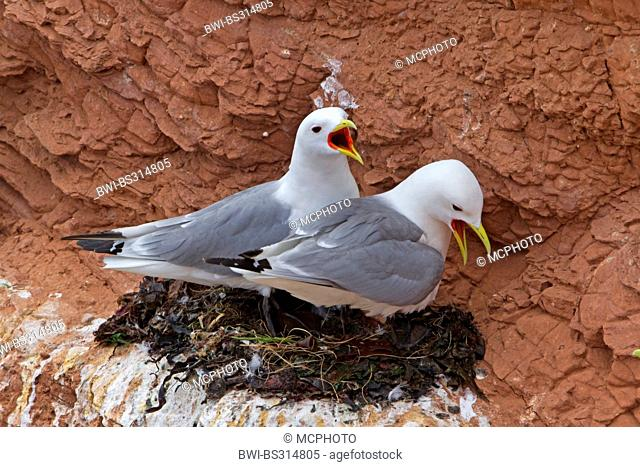 black-legged kittiwake (Rissa tridactyla, Larus tridactyla), building a nest at bird rock, Germany, Schleswig-Holstein, Heligoland