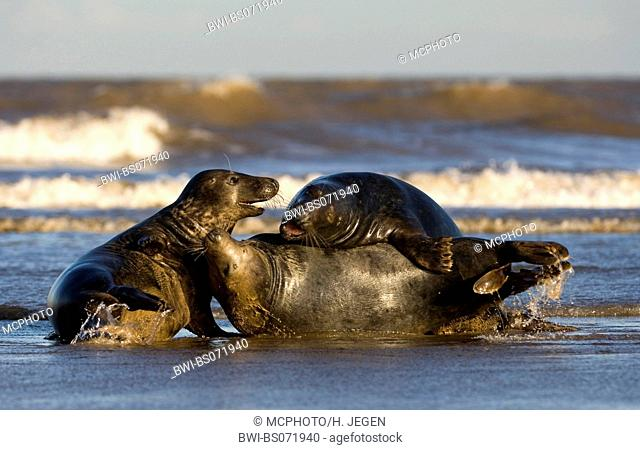gray seal (Halichoerus grypus), three individuals playing in the surge, Europe, Germany, Schleswig-Holstein, Heligoland