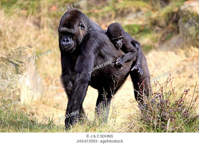 Lowland Gorilla,Gorilla gorilla, Africa, adult female with young on mother's back