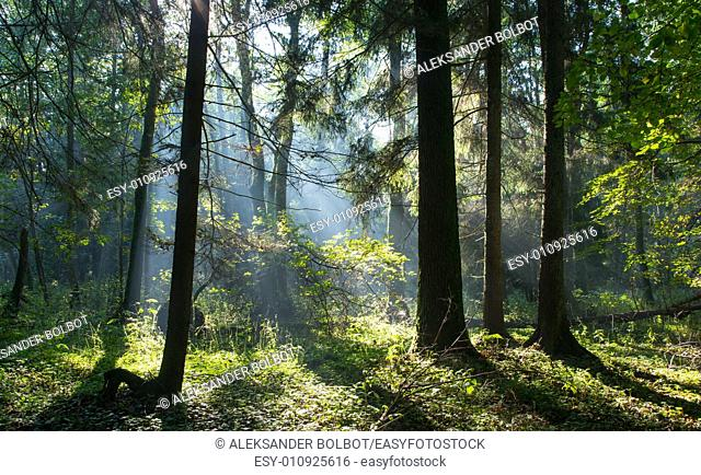 Sunbeam entering rich deciduous stand of Bialowieza Forest misty morning with old alder trees in foreground, Poland, Europe