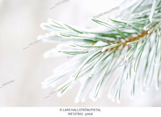 Frosty Pine branches, Sweden