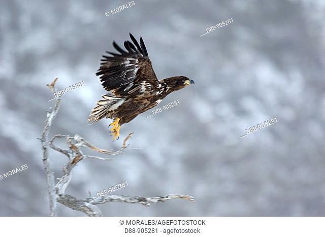 White-tailed Eagle (Haliaeetus albicilla) immature