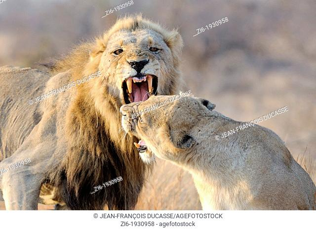 Lion and Lioness, Panthera leo, roaring, Kruger National Park, South Africa